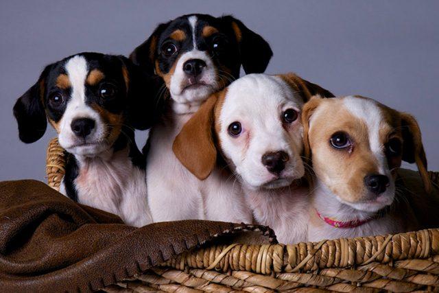 2021 03 03 - HHS Pet Foster Family Laschobers Puppy Litter Web